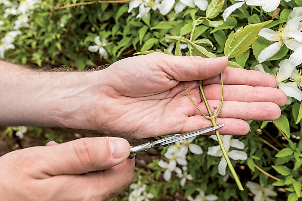 nové rastlinky plamienka zodrezkov