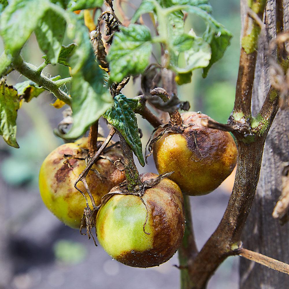 Pleseň rajčiaková (fytoftóra)