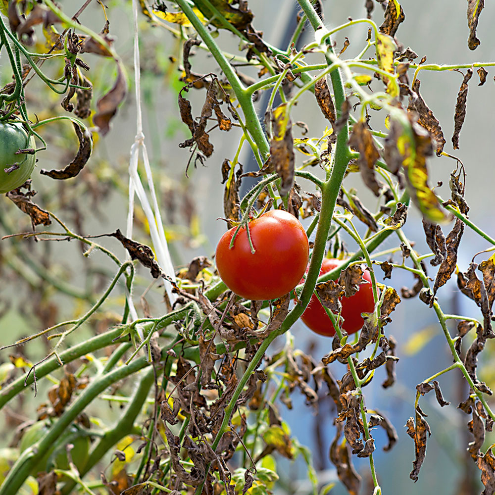 červené rajčiny