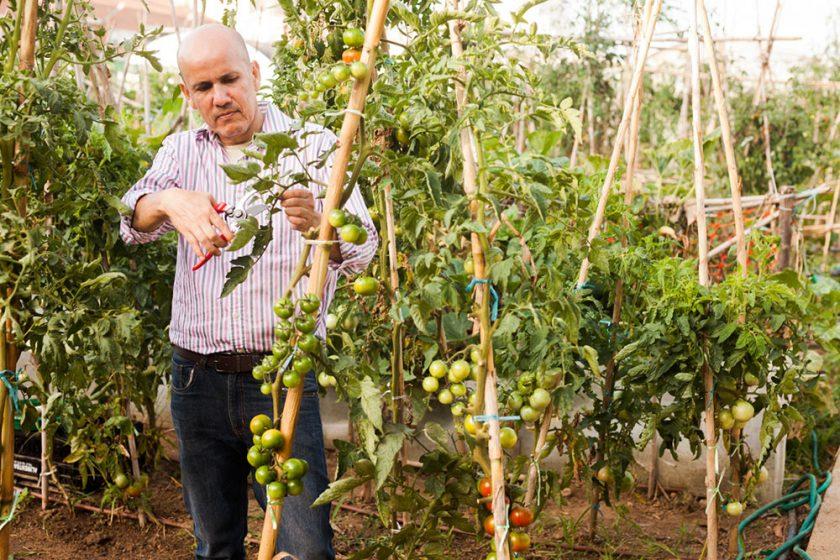 ošetrovanie paradajok