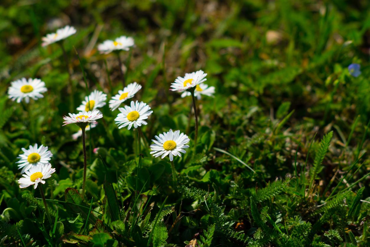 sedmokrásky v záhrade