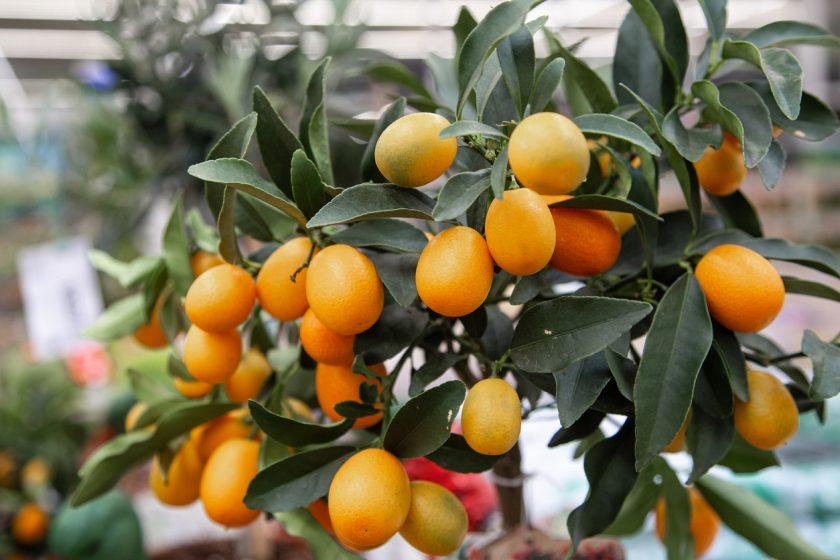 pestovanie citrusov v kvetináčoch