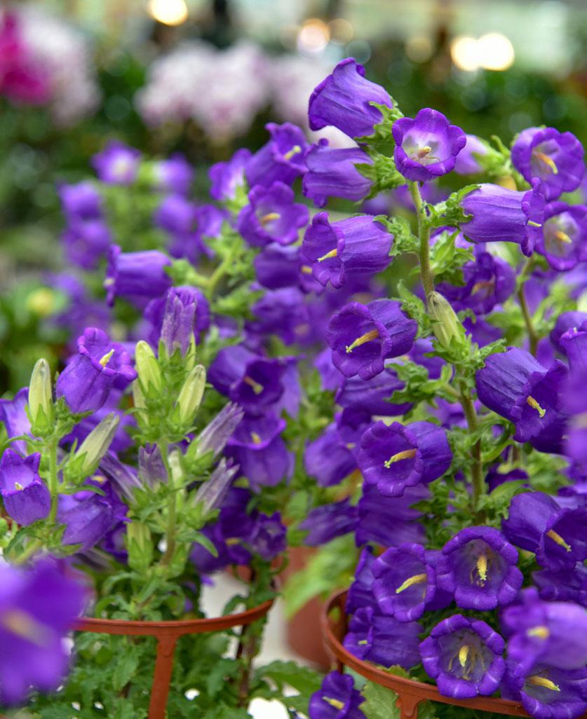 fialové zvončeky