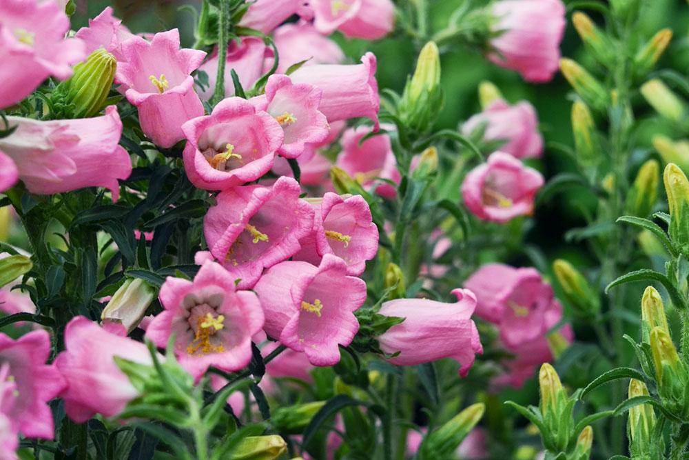 ružové zvončeky