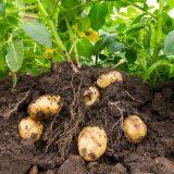 Háďatko zemiakové