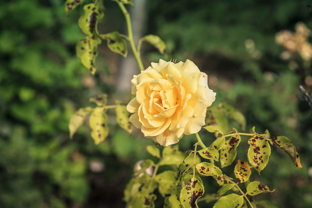 žltá ruža