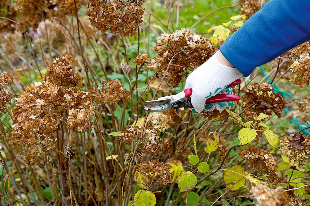Nevzhľadné asuché súkvetia trvaliek môžete zrezať askompostovať.