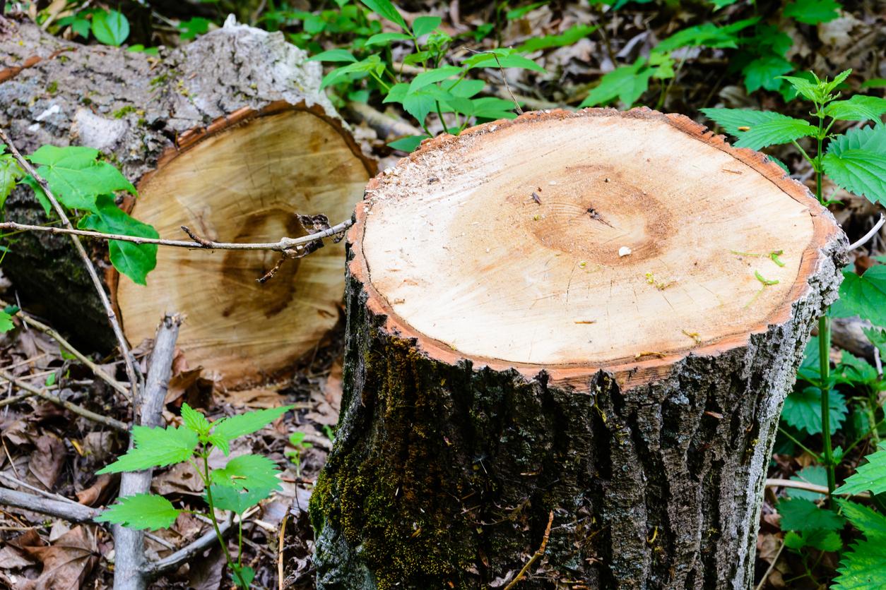 odrezaný strom