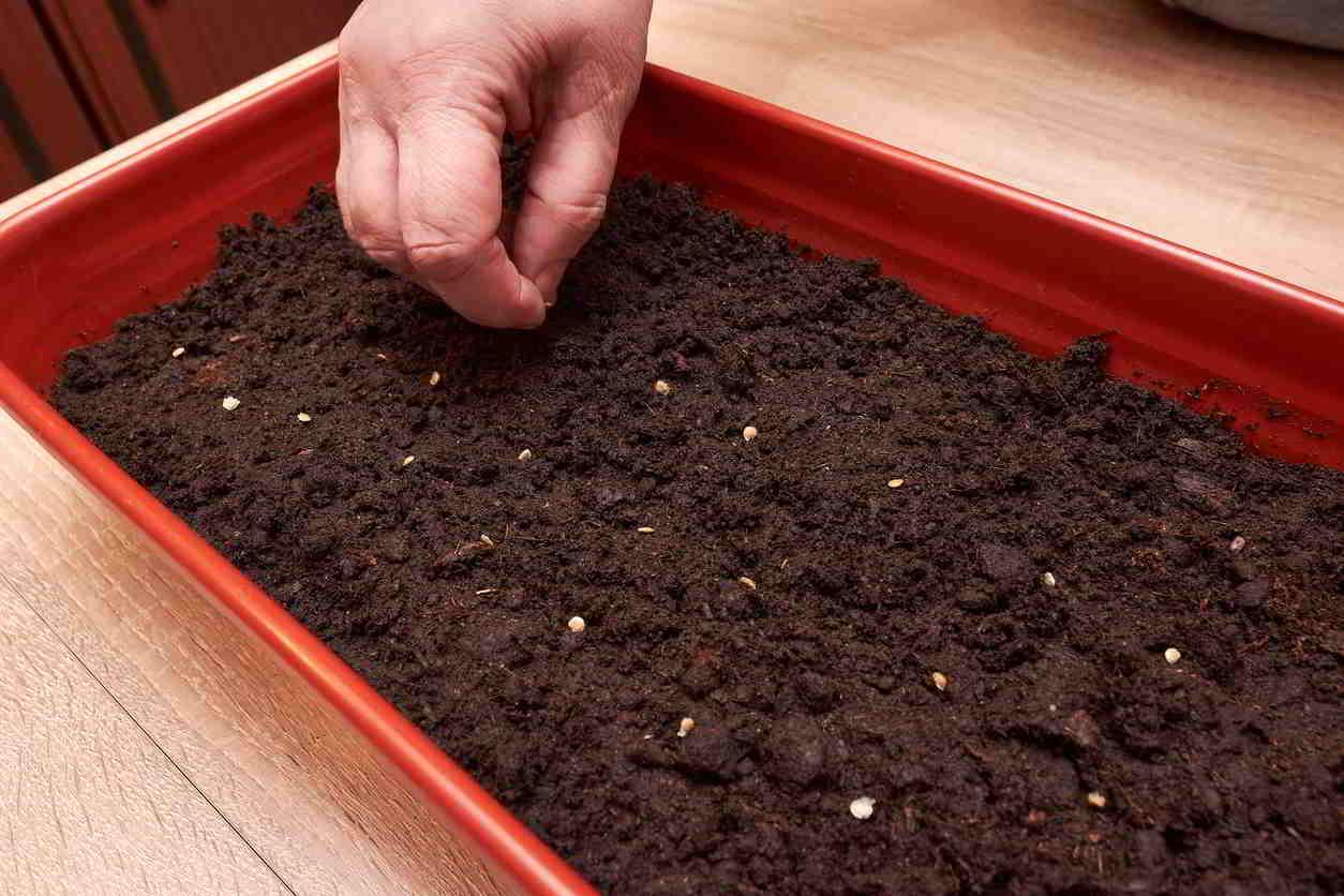 sadenie semiačok paradajok