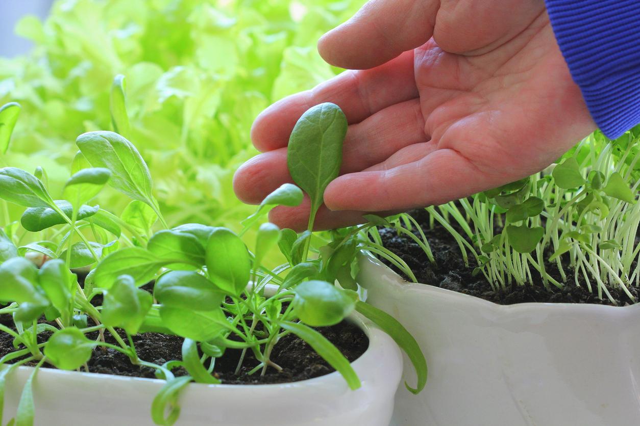mladý špenát