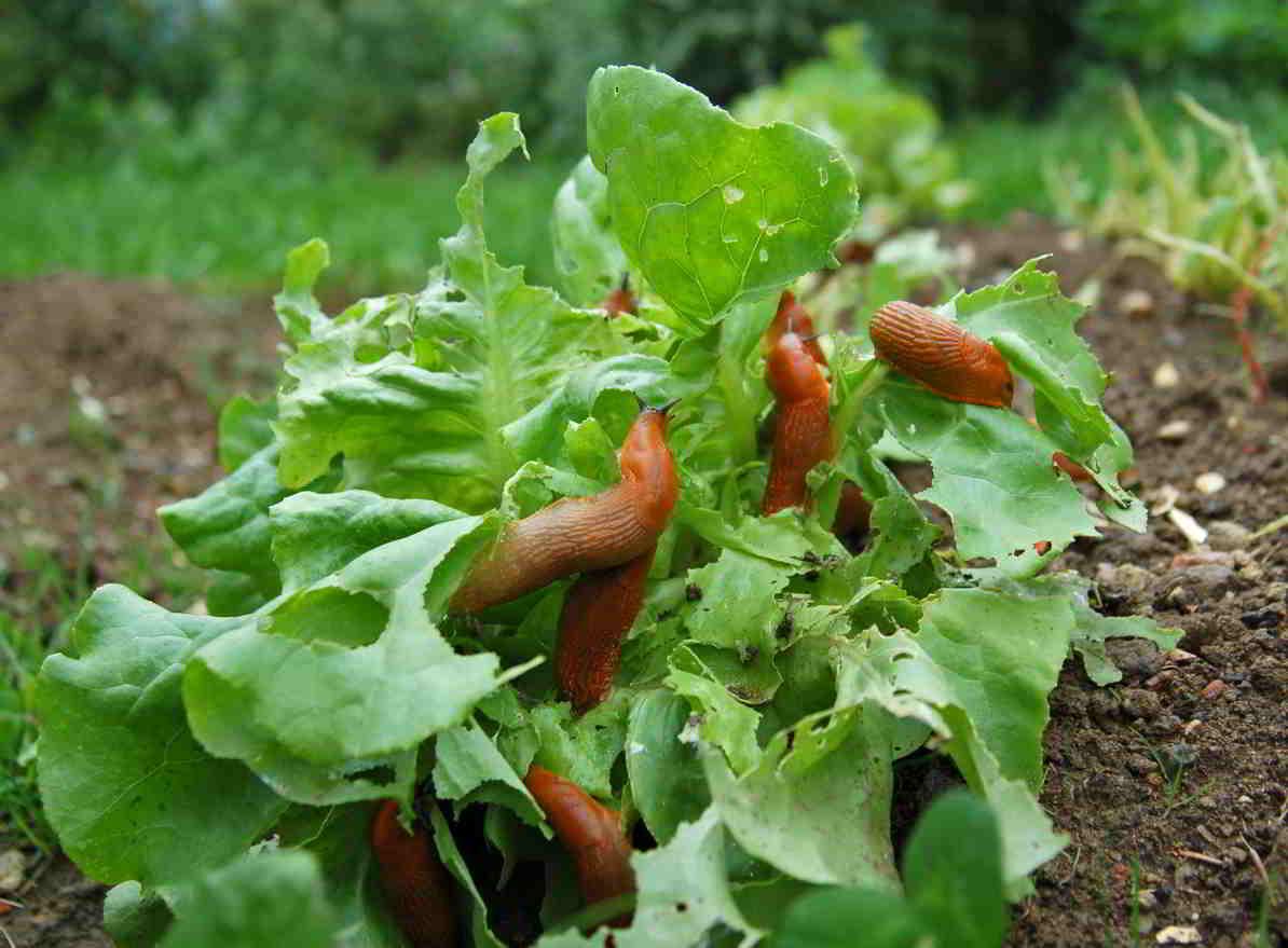 slimáky v záhrade