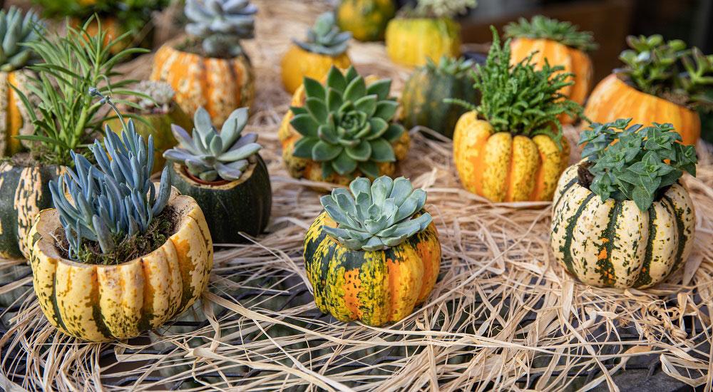 jesenné dekorácie z tekvice a sukulentov