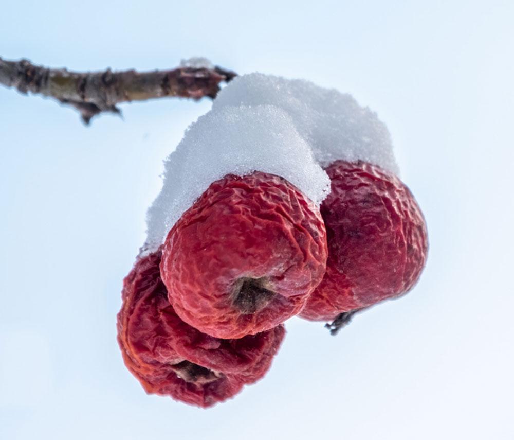 zamrznuté červené jablká na strome