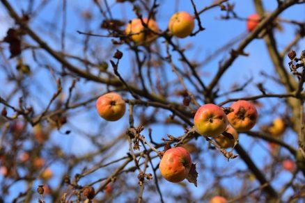 Ako zazimovať ovocné stromy?
