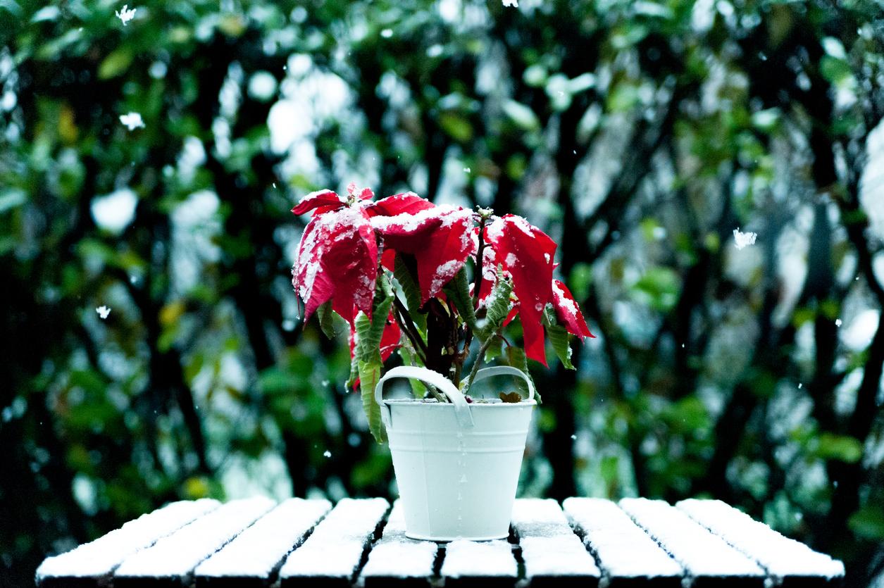 zmrznutá vianočná ruža
