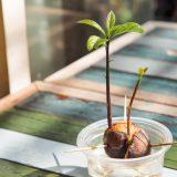 pestovanie avokáda