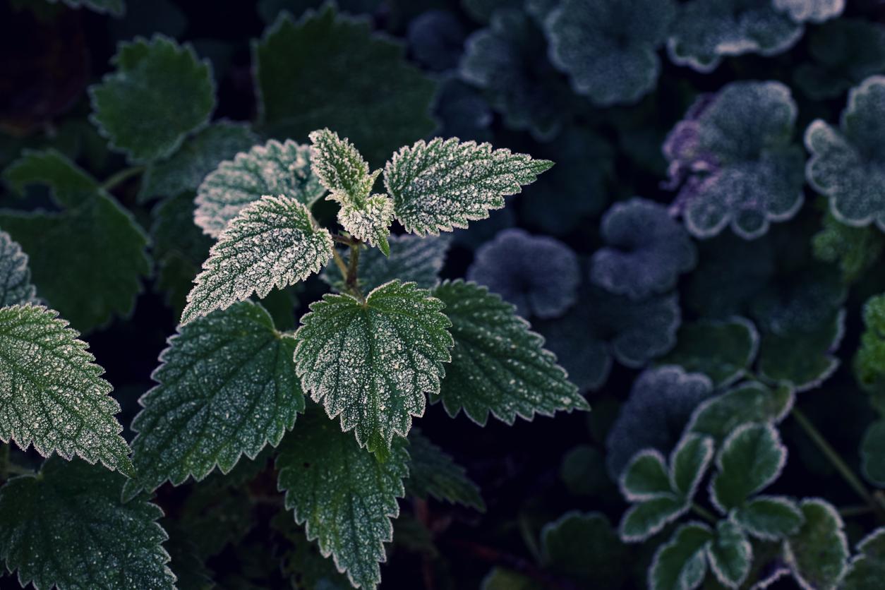 rastlina s námrazou