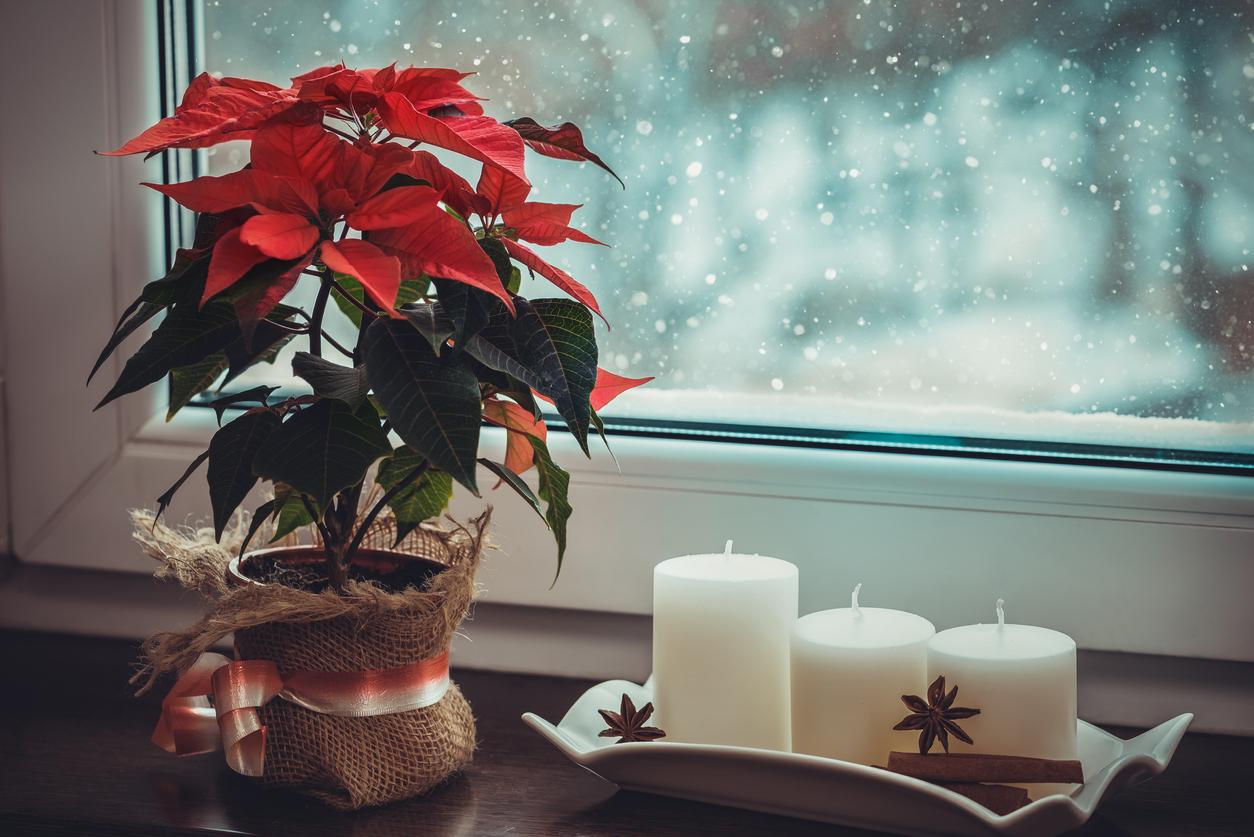 vianočná ruža pri okne