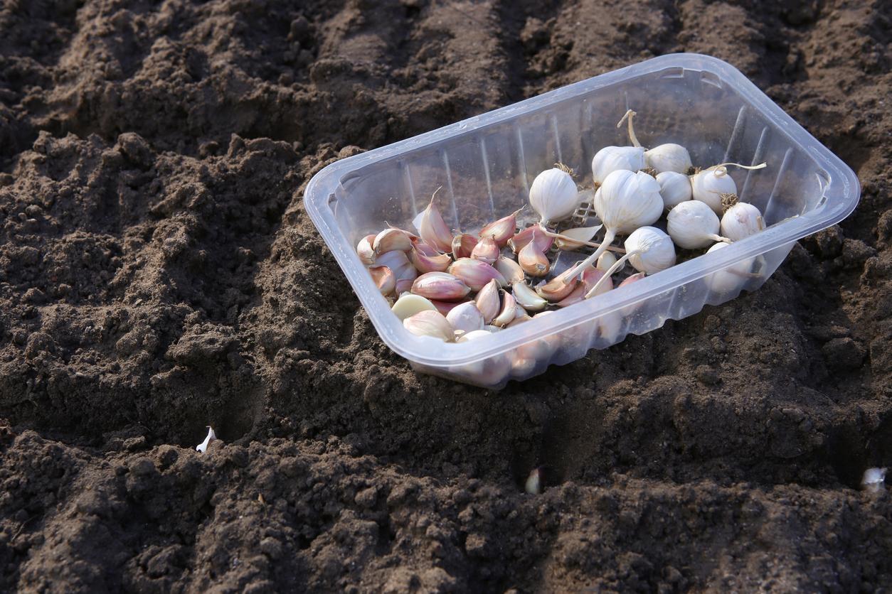 sadenie cesnaku a cibule v zime
