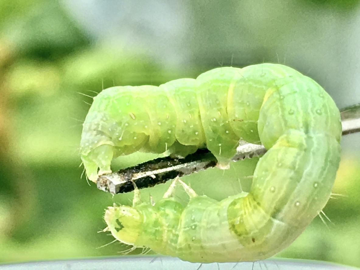 zelená húsenica