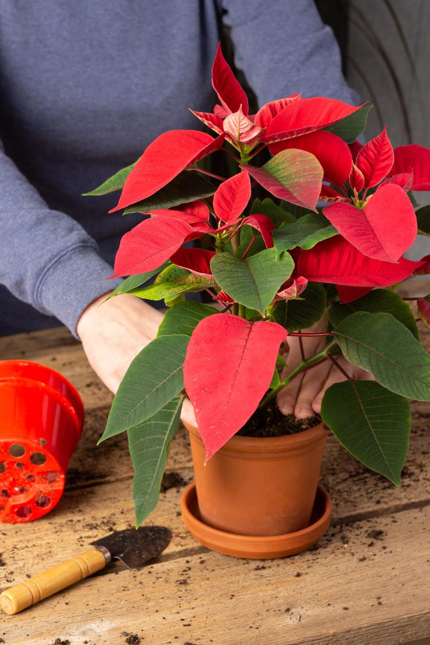 presádzanie vianočnej ruže