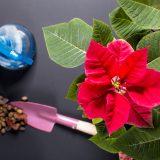 pestovanie vianočnej ruže