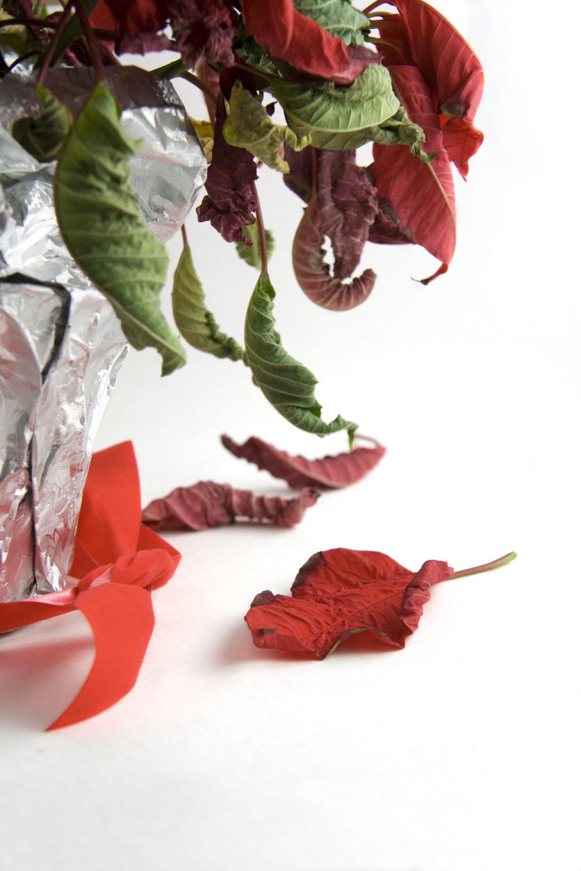 opadaná vianočná ruža