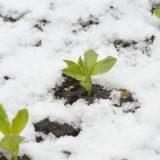 sadenie bôbu v zime