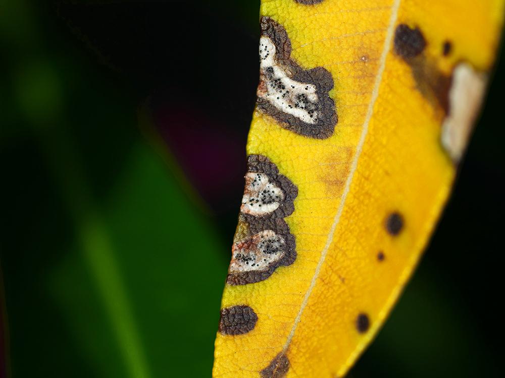 chorý oleander
