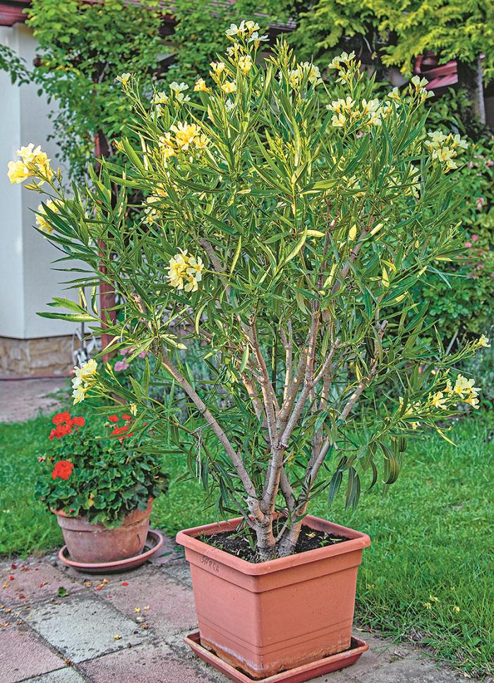 oleander v kvetináči