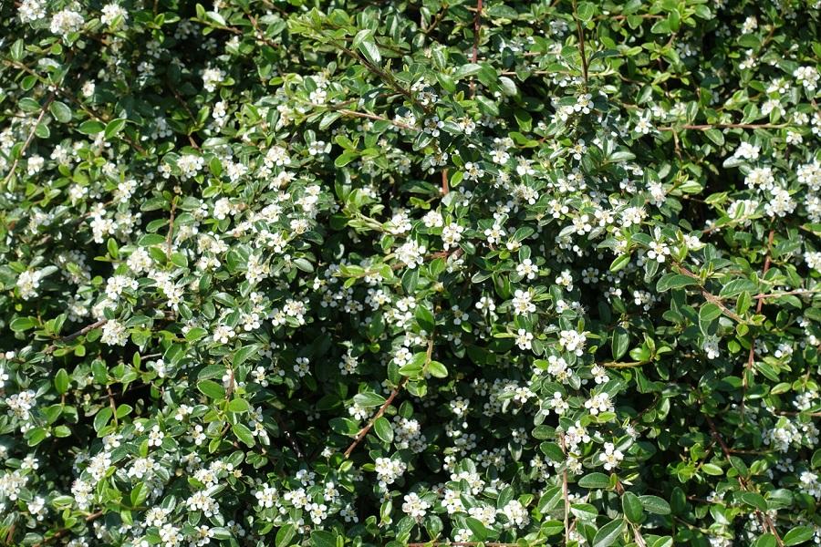 Skalník (Cotoneaster)