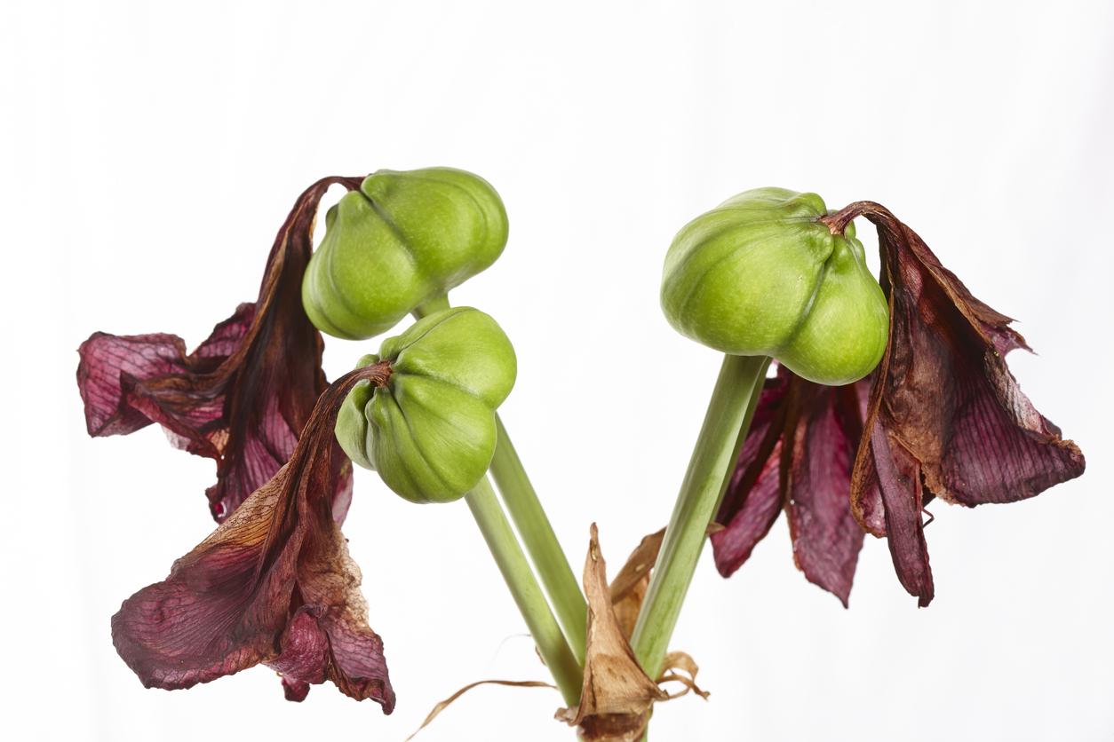 rast zornice
