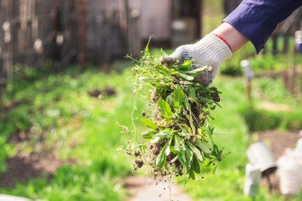 odstraňovanie buriny v záhrade