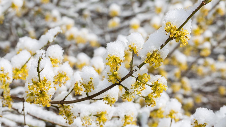 zlatý dážď pod snehom