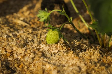 pestovanie jahôd, nástielka z pilín