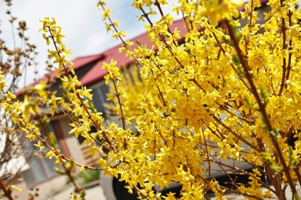 kvitnúci zlatý dážď