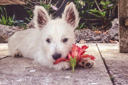 psík hryzie kvetinu