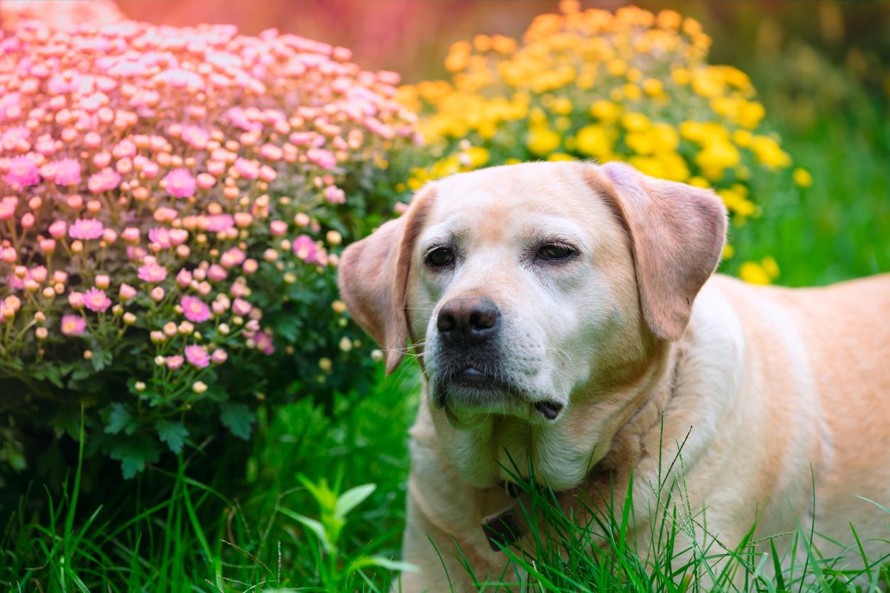 labrador a chryzantémy