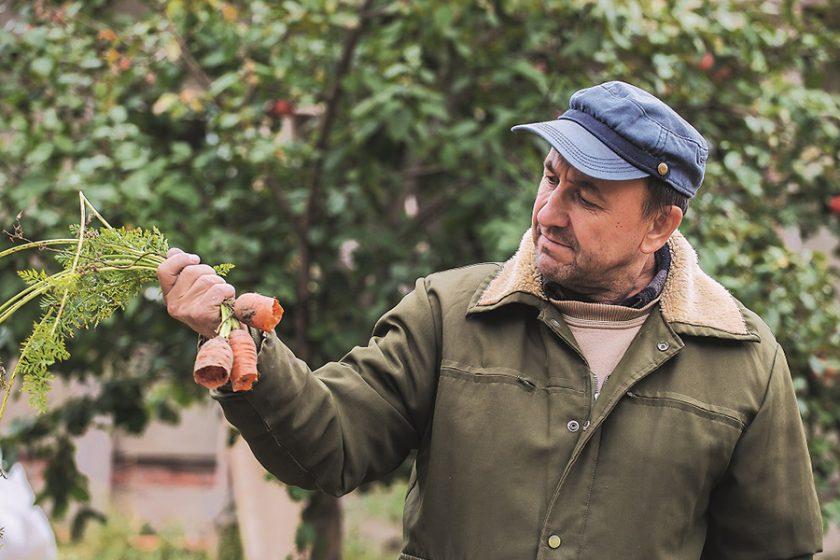 poškodenie mrkvy hrabošmi