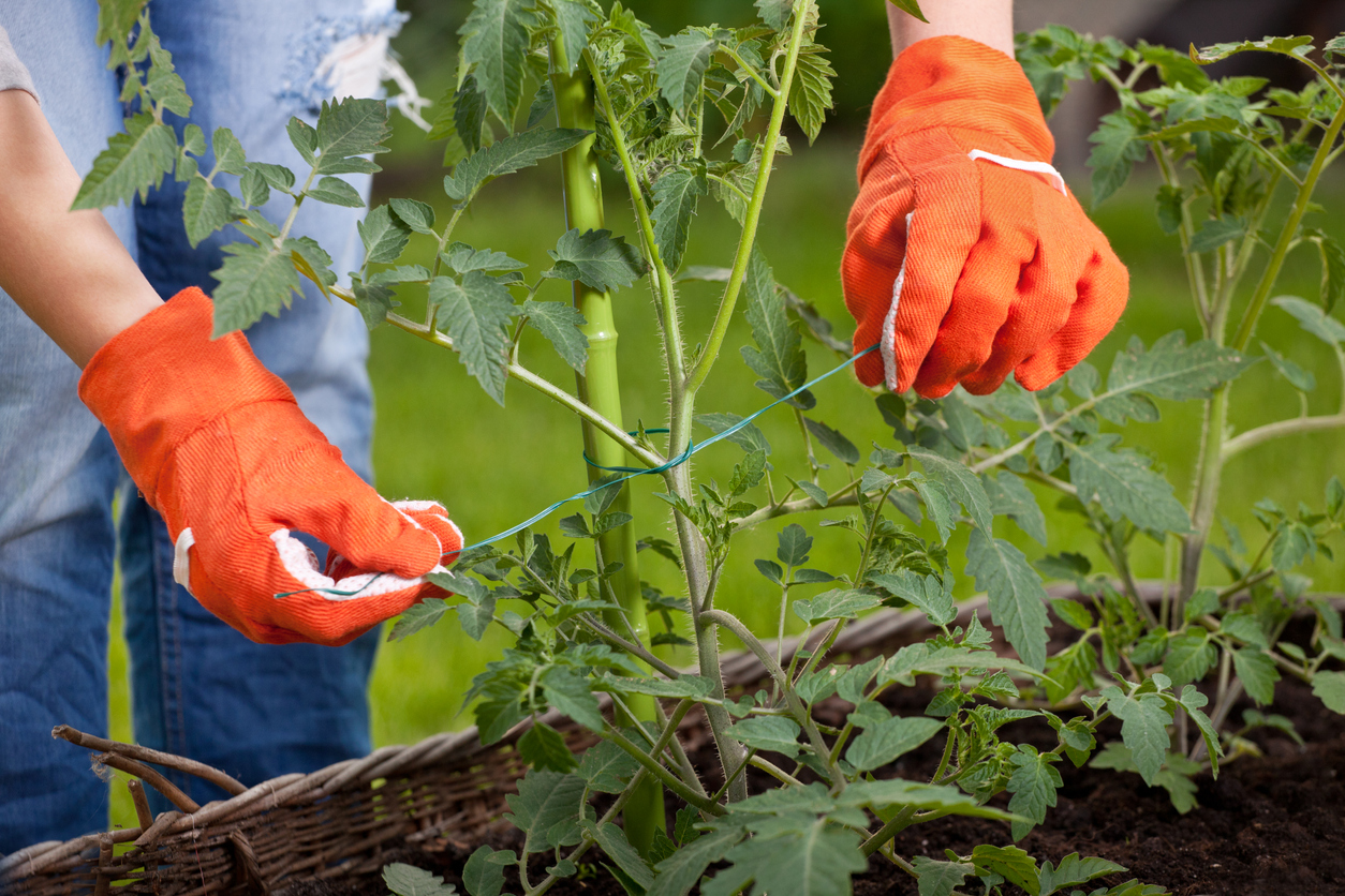 pestovanie paradajok