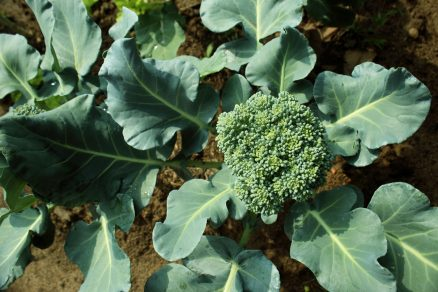 pestovanie brokolice