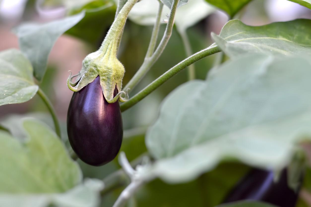 pestovanie baklažánu