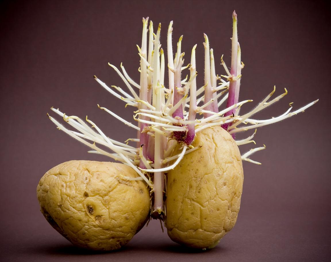 naklíčené zemiaky