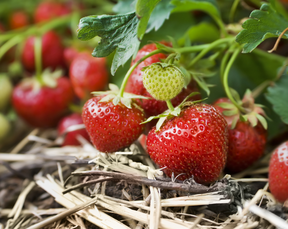 pestovanie jahôd