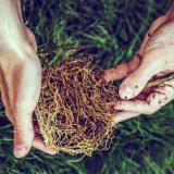 premývanie koreňov