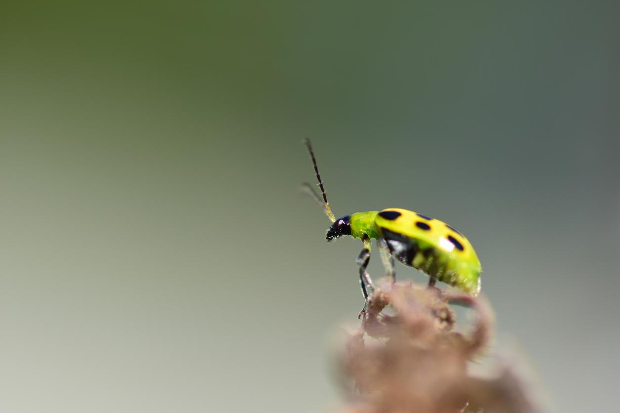 uhorkový chrobák