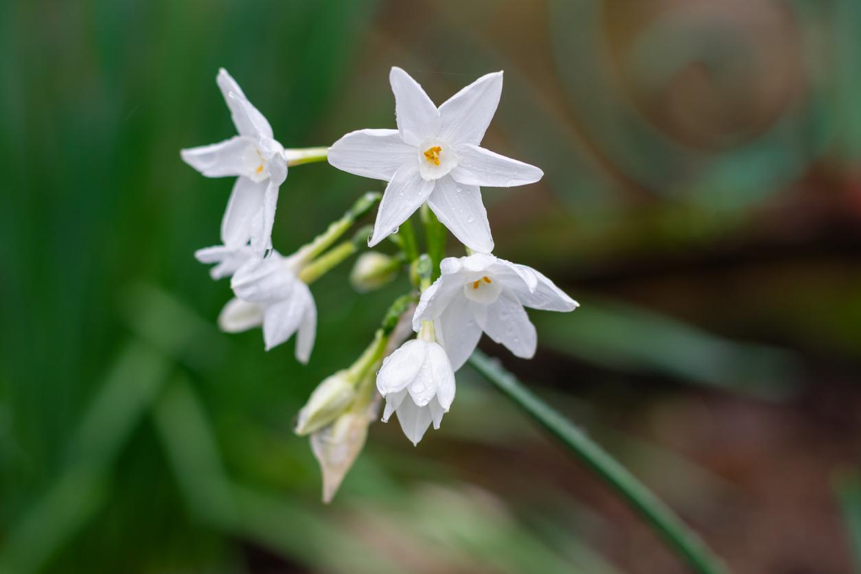Narcis tazetový