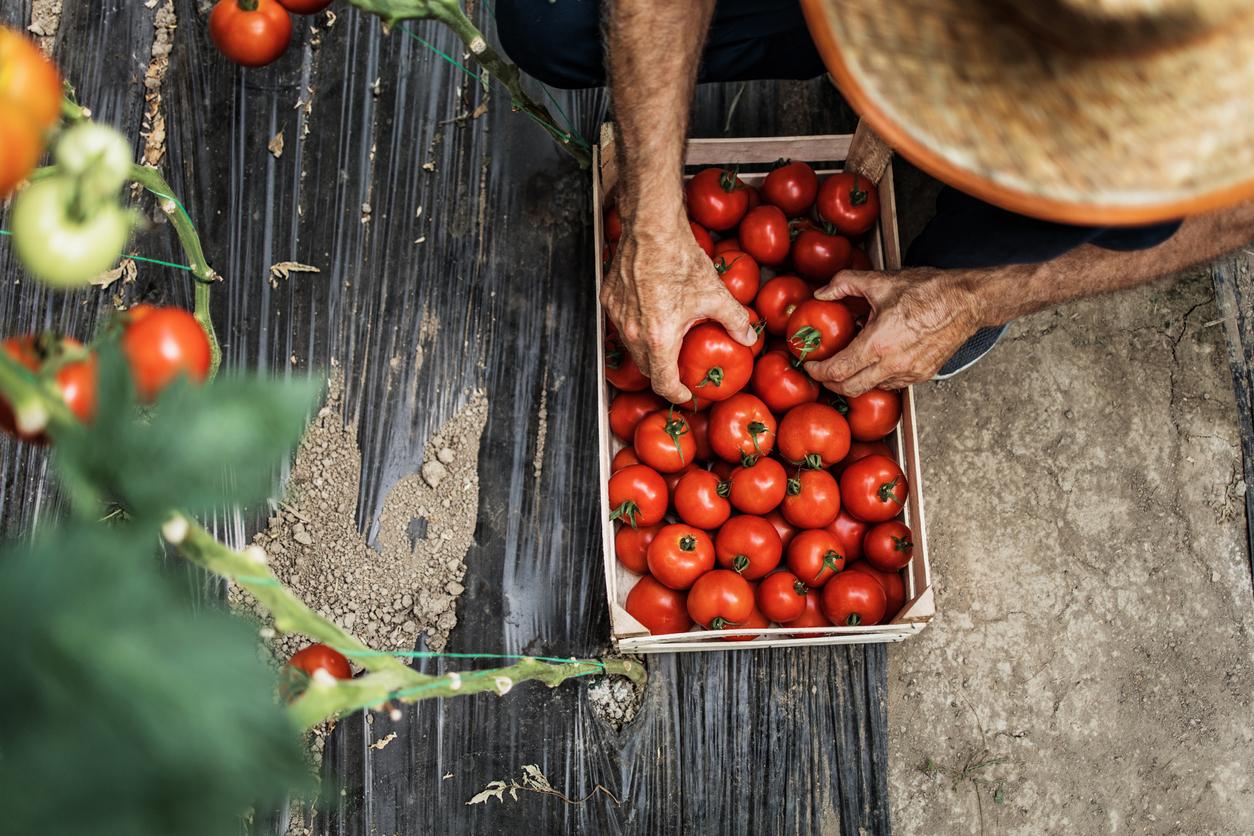 triedenie rajčín