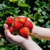 chutné domáce jahody