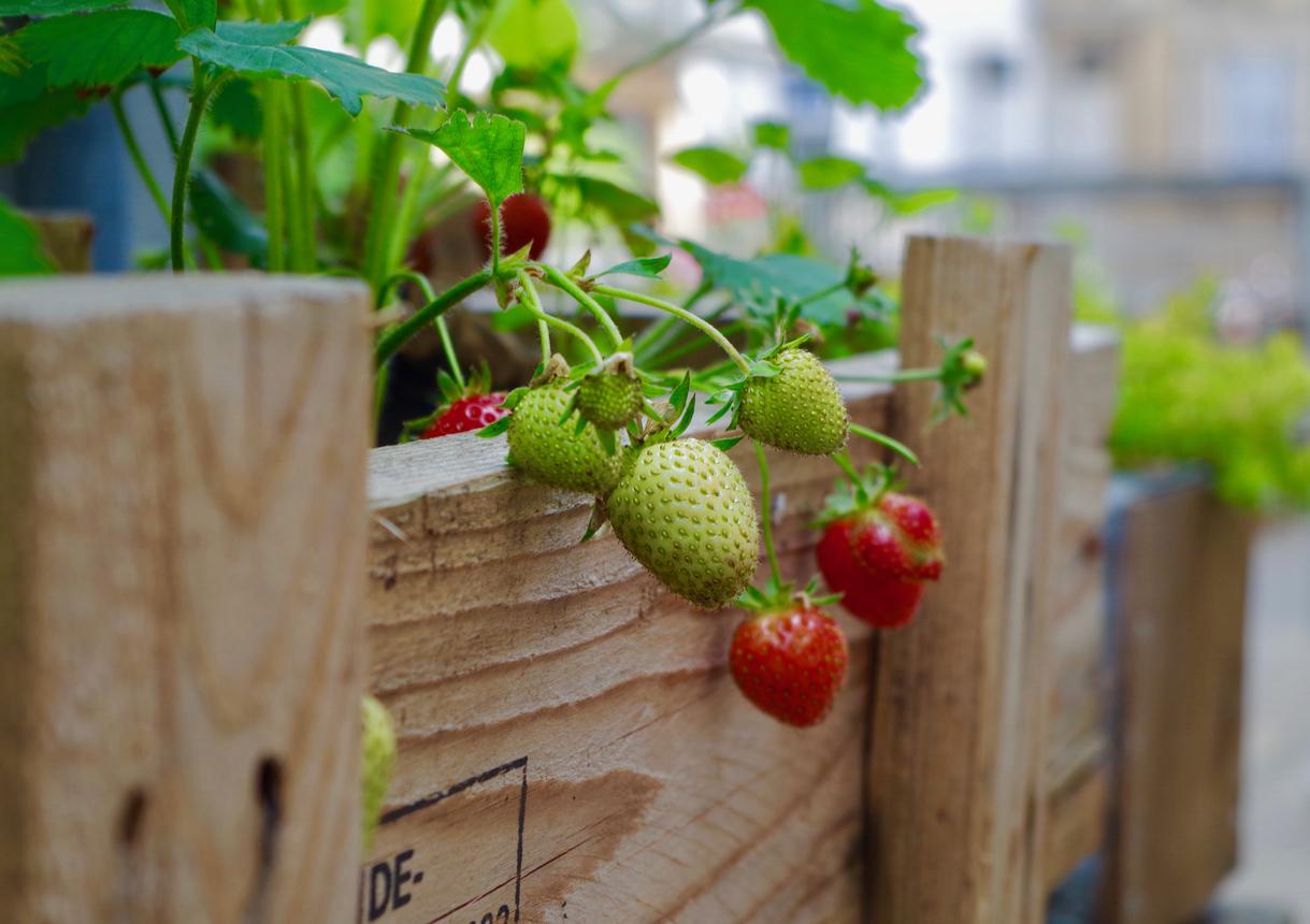 domáce jahody